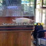 Viral Ikan Arwana Platinum Seharga Rp700 Juta Mati